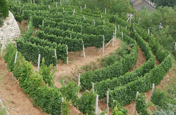 China Wine Tours Blog vines image