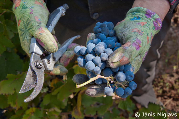 Ningxia Silver Heights Winery grapes Janis Miglavs image